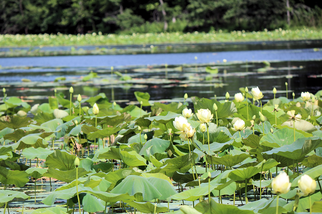 Honker Lake Lily Pads